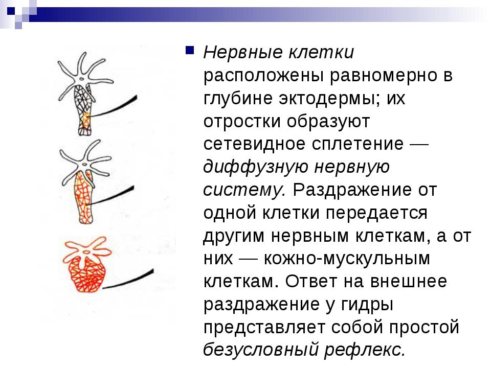 Нервные клетки расположены равномерно в глубине эктодермы; их отростки образу...