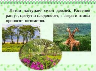 Летом наступает сезон дождей. Растения растут, цветут и плодоносят, а звери и