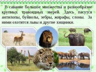 В саванне большое множества и разнообразие крупных травоядных зверей. Здесь п