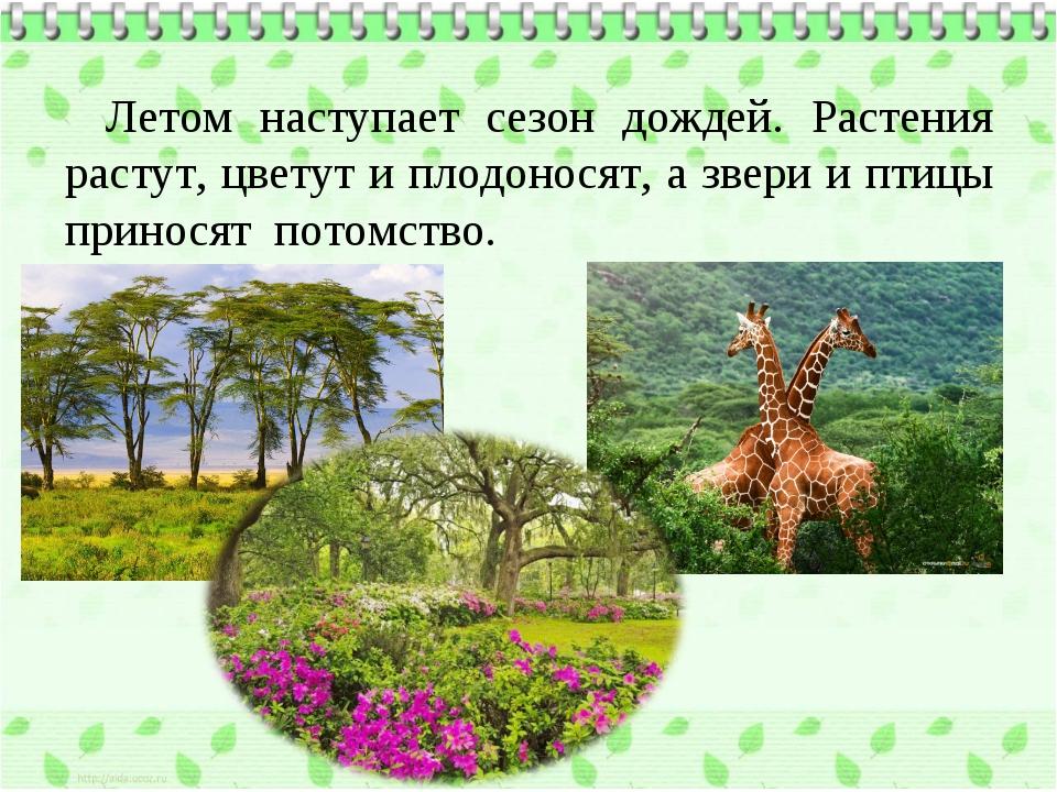 Летом наступает сезон дождей. Растения растут, цветут и плодоносят, а звери и...