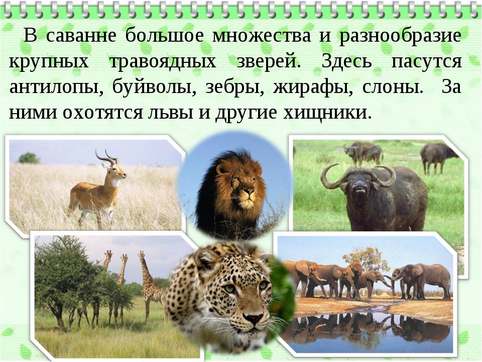 В саванне большое множества и разнообразие крупных травоядных зверей. Здесь п...