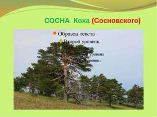 СОСНА Коха (Сосновского)