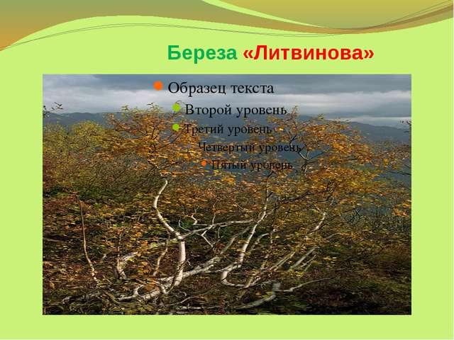 Береза «Литвинова»