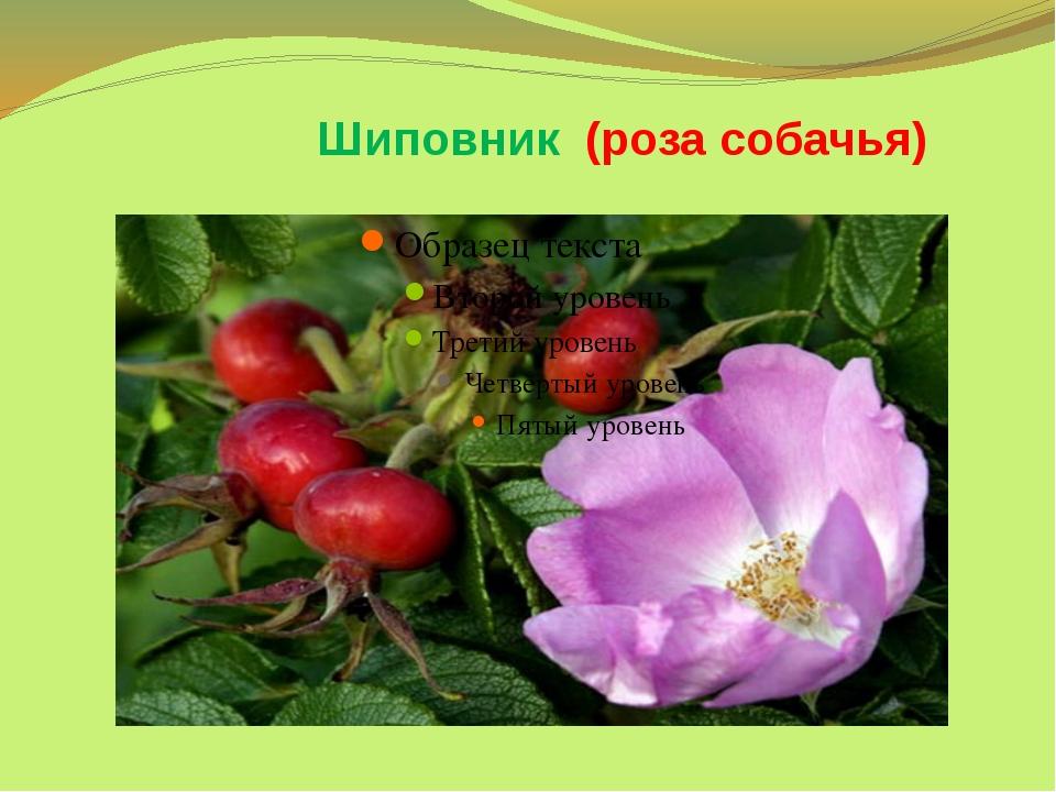 Шиповник (роза собачья)