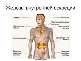 Железы внутренней секреции Околощитовидные железы