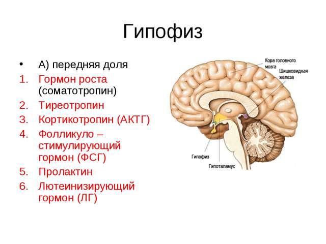 Гипофиз А) передняя доля Гормон роста (соматотропин) Тиреотропин Кортикотропи...