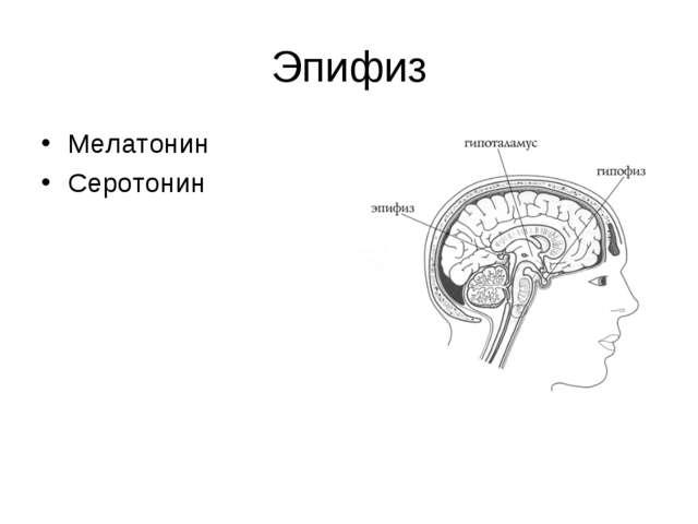 Эпифиз Мелатонин Серотонин