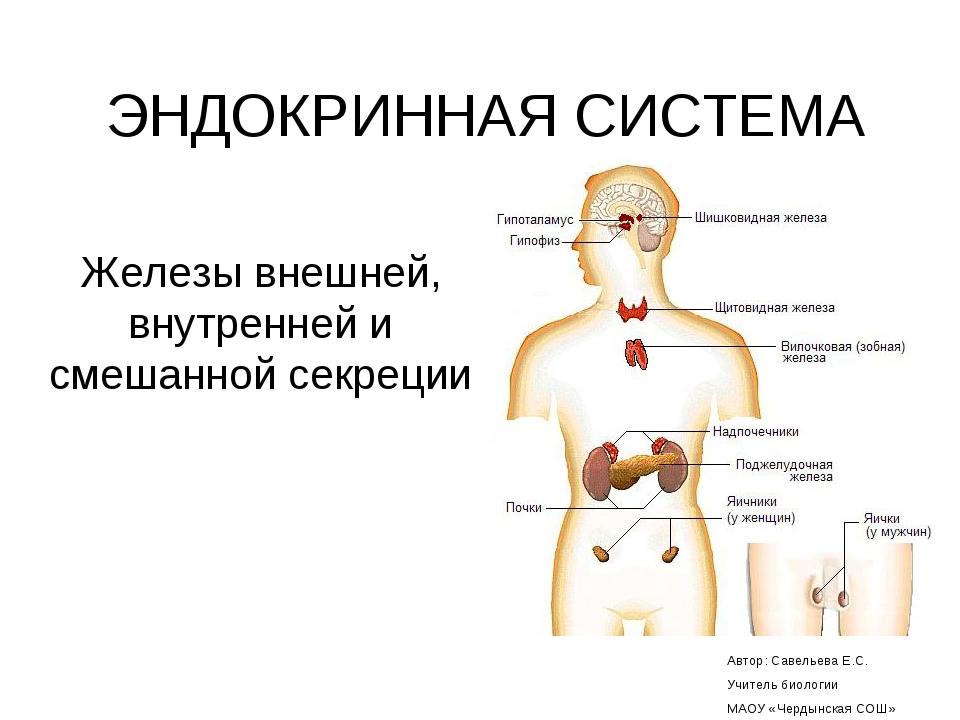 ЭНДОКРИННАЯ СИСТЕМА Железы внешней, внутренней и смешанной секреции Автор: Са...