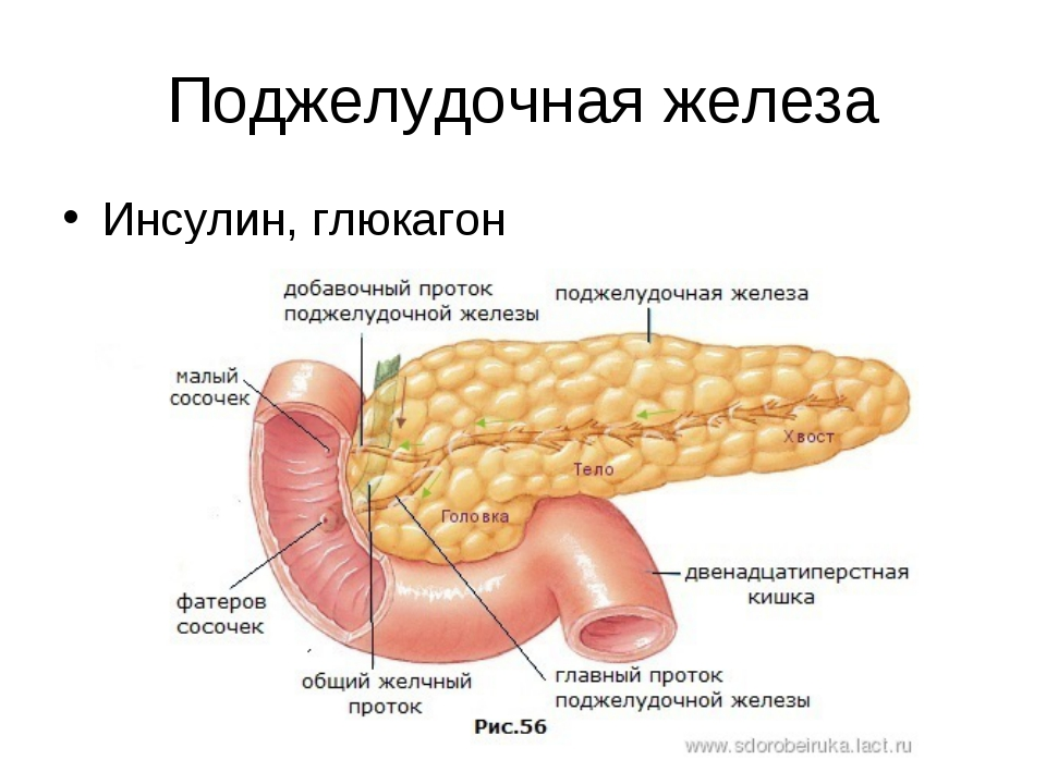 Поджелудочная железа Инсулин, глюкагон