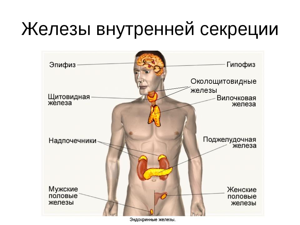 секреции железы внутренней и рисунок внешней