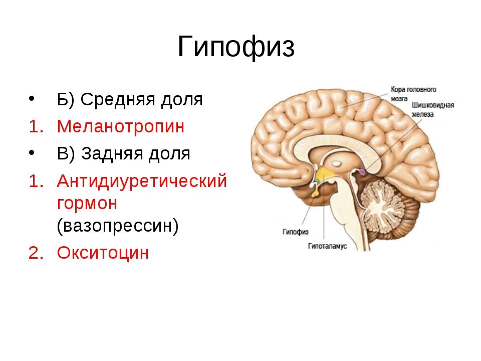 Гипофиз Б) Средняя доля Меланотропин В) Задняя доля Антидиуретический гормон...
