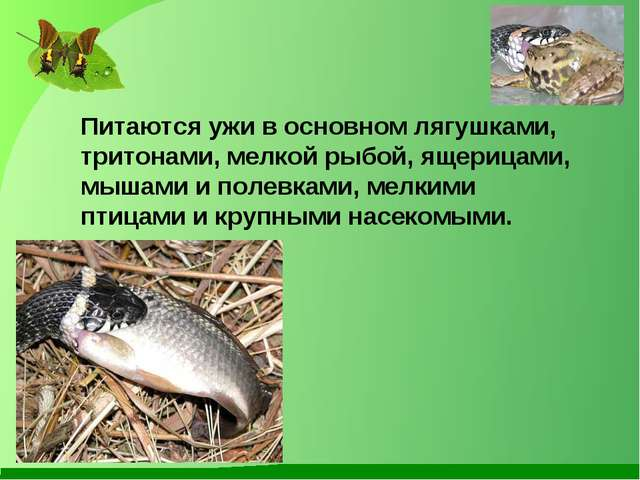 Питаются ужи в основном лягушками, тритонами, мелкой рыбой, ящерицами, мышами...