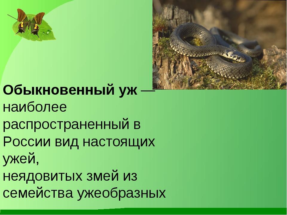Обыкновенный уж — наиболее распространенный в России виднастоящих ужей, неяд...