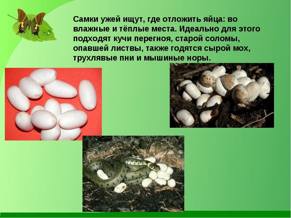 Самки ужей ищут, где отложить яйца: во влажные и тёплые места. Идеально для э...