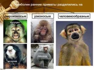 павианы Наиболее ранние приматы разделились на широконосые узконосые человеко