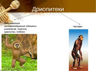 Дриопитеки Современные человекообразные обезьяны (шимпанзе, горилла, орангута