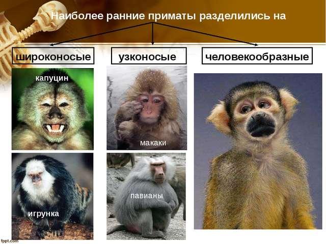 павианы Наиболее ранние приматы разделились на широконосые узконосые человеко...