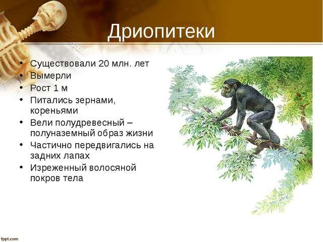 Дриопитеки Существовали 20 млн. лет Вымерли Рост 1 м Питались зернами, корень...