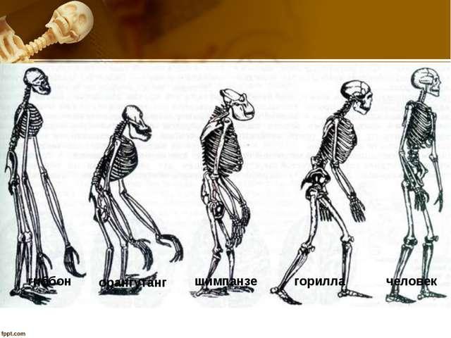 гиббон орангутанг шимпанзе горилла человек
