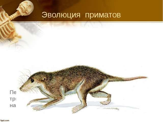 Презентация по биологии на тему quot Эволюция человека  Эволюция приматов Первые млекопитающие мезозойская эра триасовый период ко