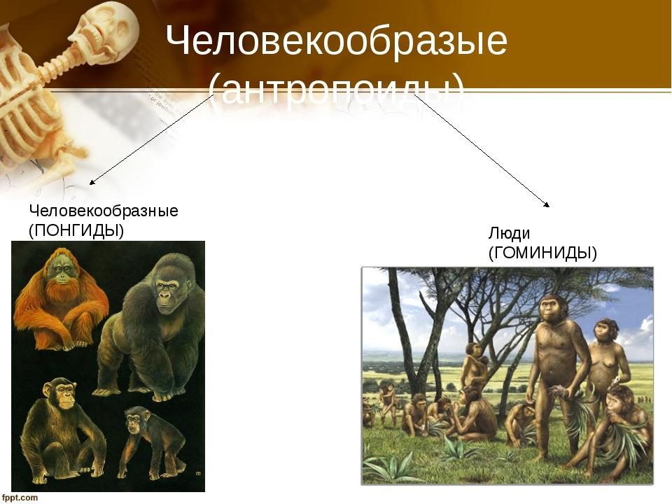 Человекообразые (антропоиды) Человекообразные (ПОНГИДЫ) Люди (ГОМИНИДЫ)