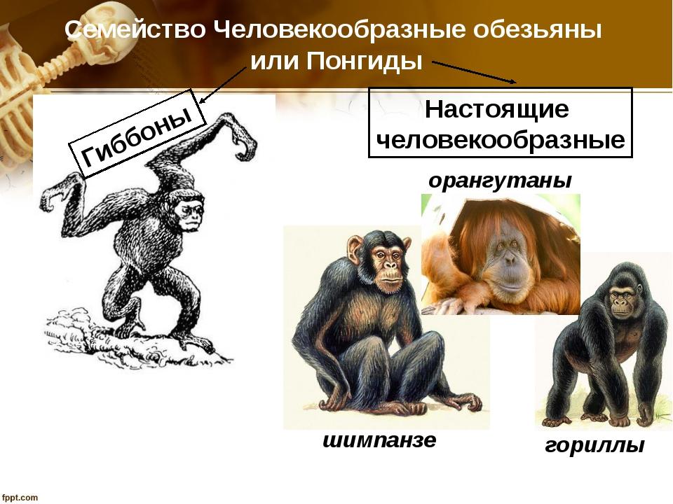 Семейство Человекообразные обезьяны или Понгиды Гиббоны орангутаны гориллы ши...