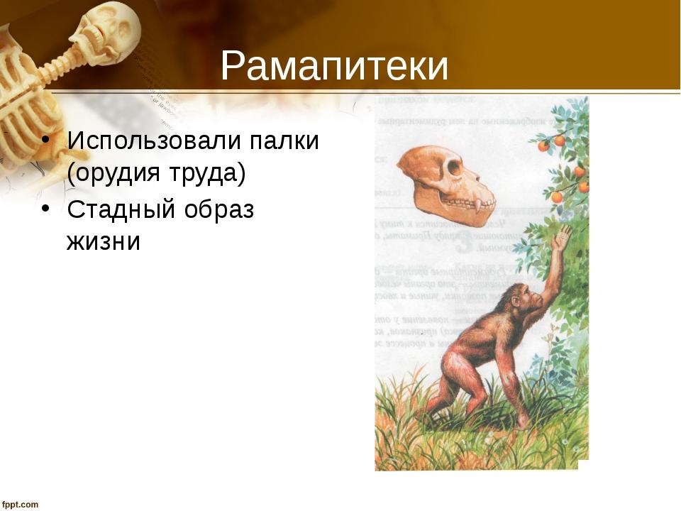 Рамапитеки Использовали палки (орудия труда) Стадный образ жизни