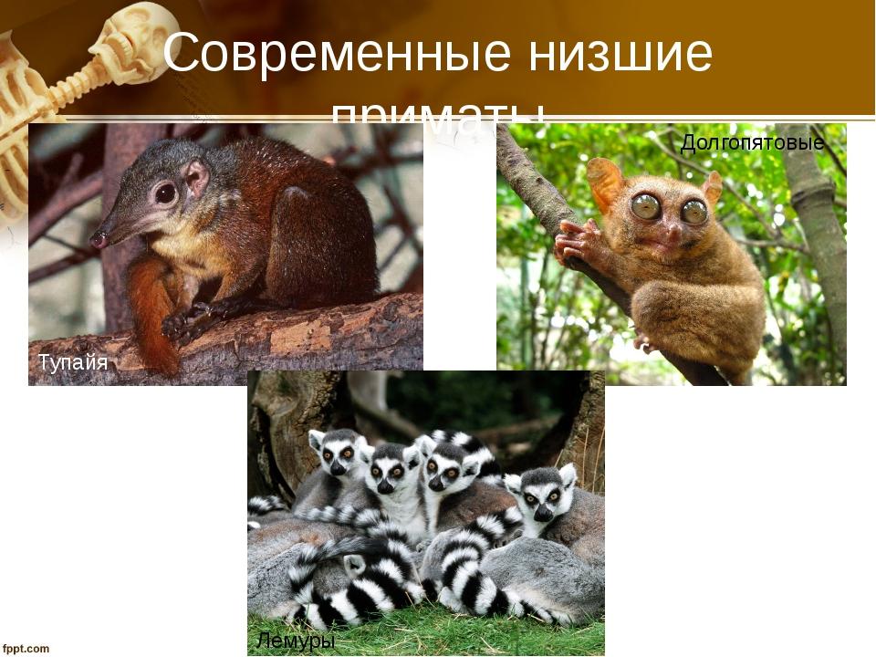Современные низшие приматы Тупайя Долгопятовые Лемуры