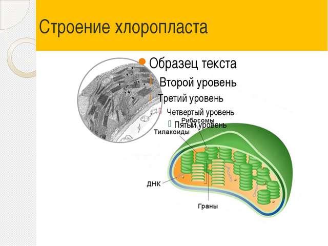 Строение хлоропласта