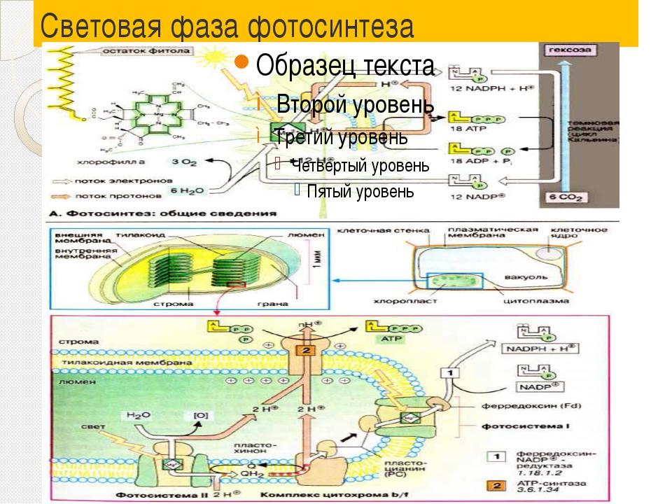 слайда 14 Световая фаза