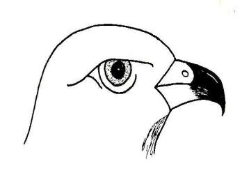 мощный острый крючковатый клюв слезы плоть от мелких птиц и