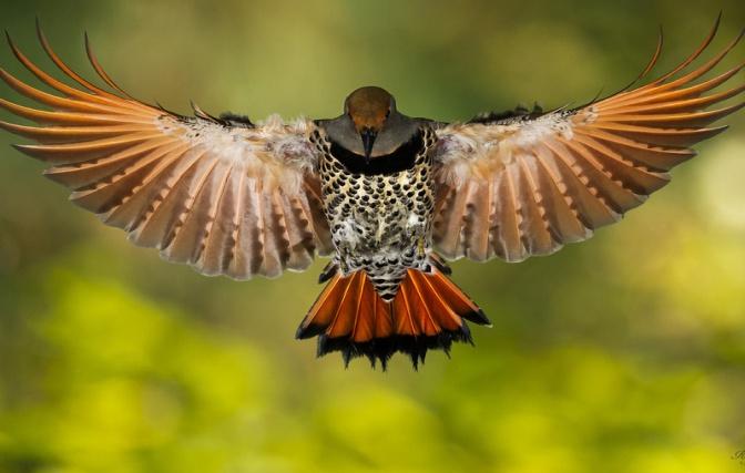 1920x1200 птица, золотой шилоклювый дятeл, крылья обои на рабочий стол 71731