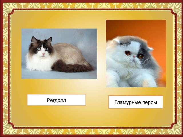 Регдолл Гламурные персы