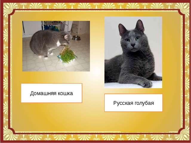 Домашняя кошка Русская голубая