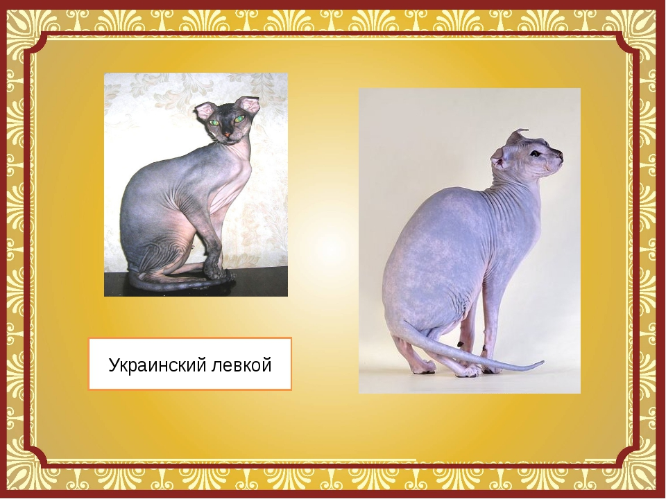 Украинский левкой