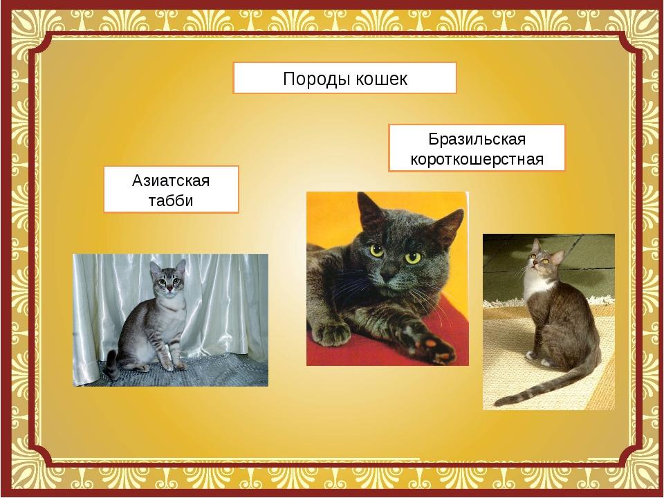 Породы кошек Азиатская табби Бразильская короткошерстная