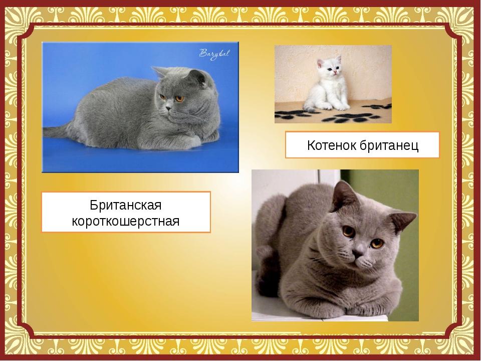 Стих про британского кота