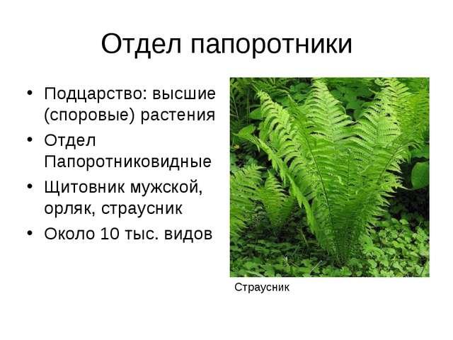 Отдел папоротники Подцарство: высшие (споровые) растения Отдел Папоротниковид...