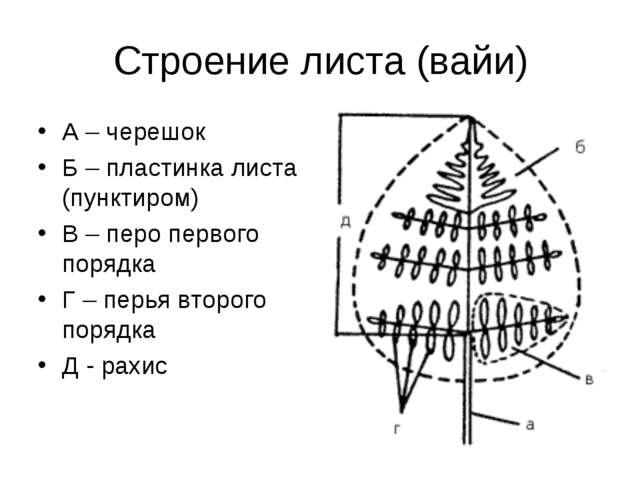 Строение листа (вайи) А – черешок Б – пластинка листа (пунктиром) В – перо пе...