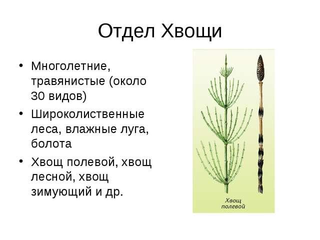 Отдел Хвощи Многолетние, травянистые (около 30 видов) Широколиственные леса,...