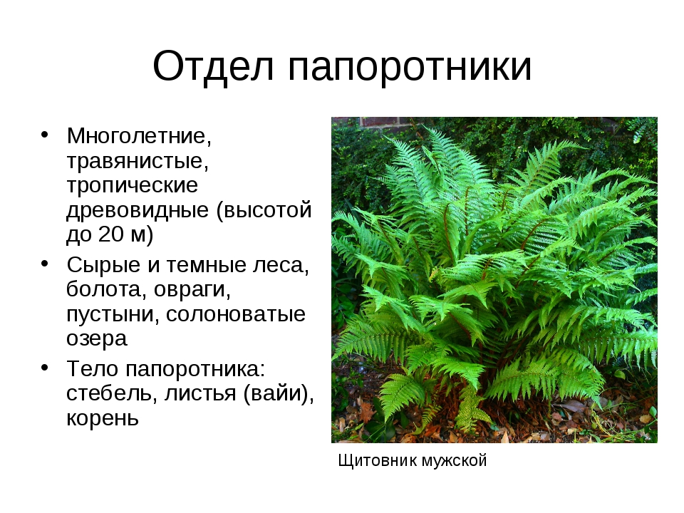 Отдел папоротники Многолетние, травянистые, тропические древовидные (высотой...
