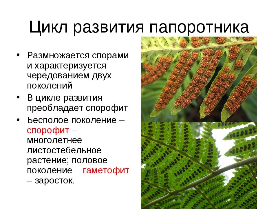 Цикл развития папоротника Размножается спорами и характеризуется чередованием...