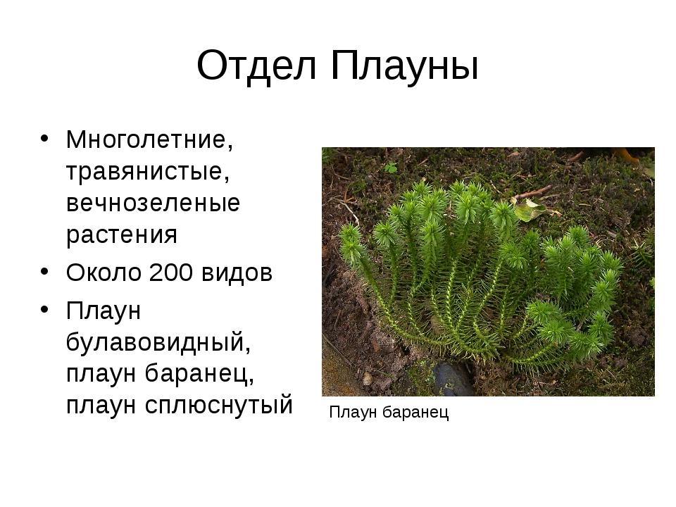 Отдел Плауны Многолетние, травянистые, вечнозеленые растения Около 200 видов...