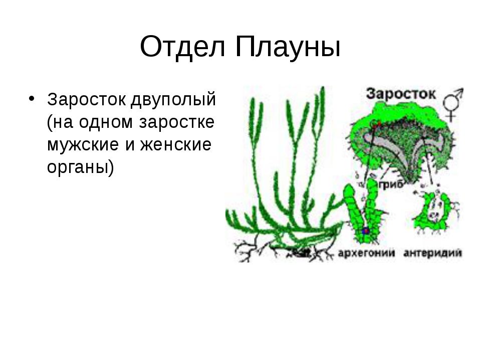 Отдел Плауны Заросток двуполый (на одном заростке мужские и женские органы)