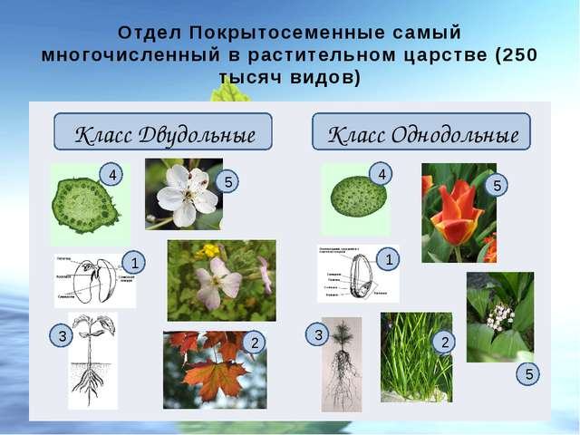 Отдел Покрытосеменные самый многочисленный в растительном царстве (250 тысяч...