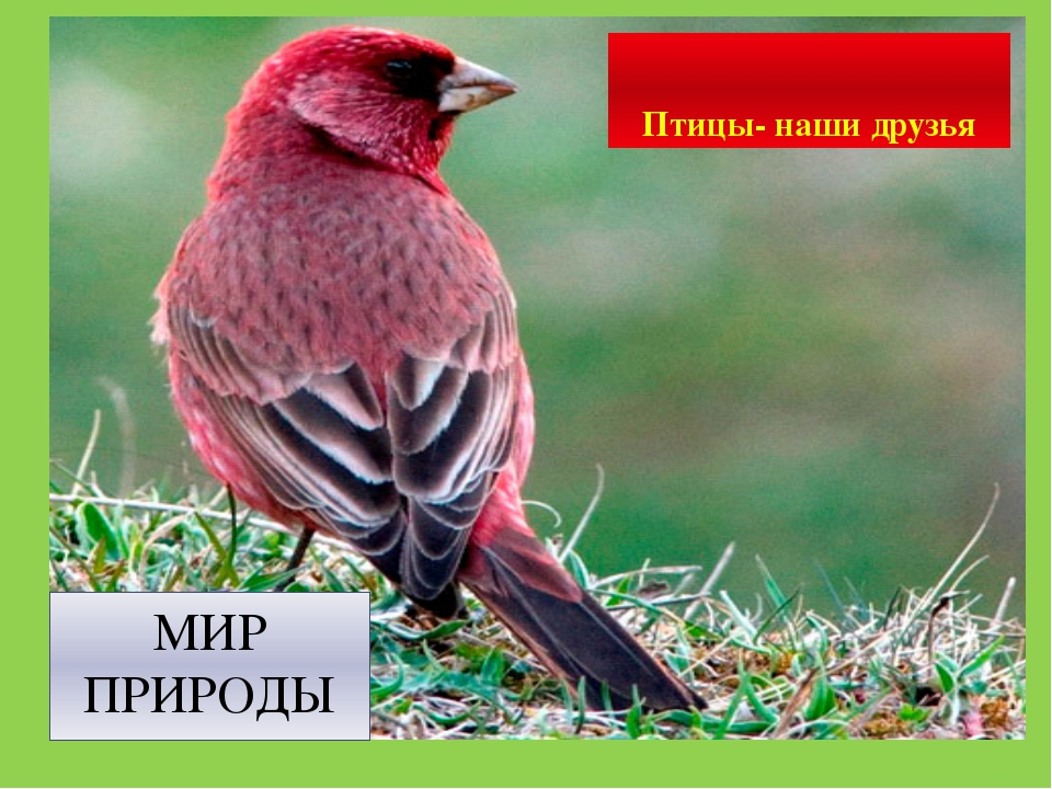 МИР ПРИРОДЫ Птицы- наши друзья