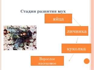 Стадии развития мух яйца куколка личинка Взрослое насекомое