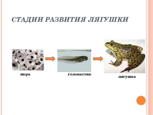 СТАДИИ РАЗВИТИЯ ЛЯГУШКИ икра головастик лягушка