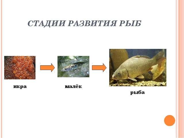 СТАДИИ РАЗВИТИЯ РЫБ икра малёк рыба