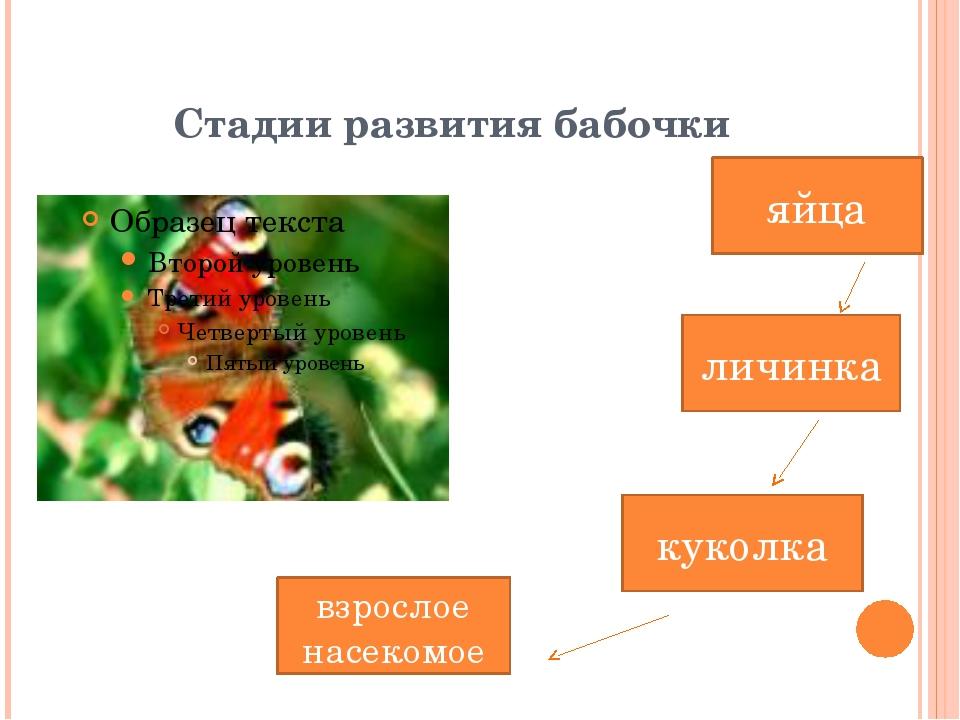 Стадии развития бабочки яйца взрослое насекомое личинка куколка